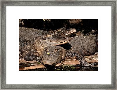 Gator Pals 1 Framed Print by Sue Jarrett