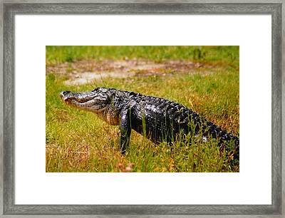 Gator Raid Framed Print by Miles Stites