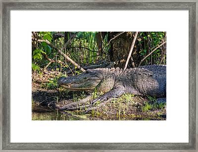 Gator Framed Print by Steve Harrington