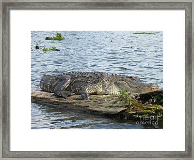 Gator Framed Print by Tanya Shockman