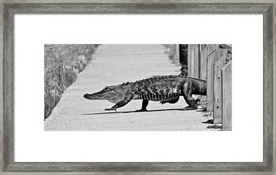 Gator Walking Framed Print