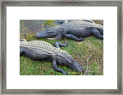Gators Framed Print