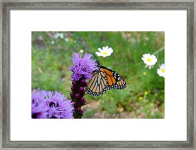 Gayfeathers And Butterfly Framed Print by Sandra Updyke