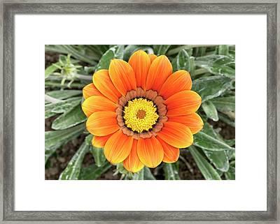 Gazania 'frosty Kiss' Flower Framed Print