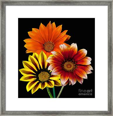 Framed Print featuring the photograph Gazania Variety by Shirley Mangini