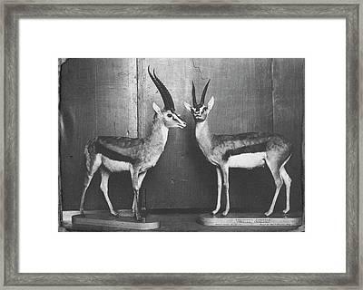 Gazelles In Lower Mammal Gallery Framed Print