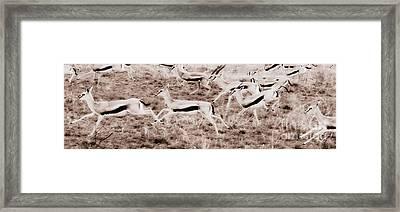 Gazelles Running Framed Print