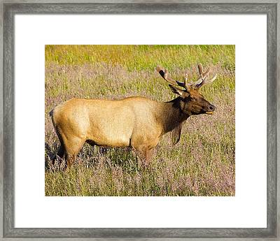 Framed Print featuring the photograph Gazing Elk by Todd Kreuter