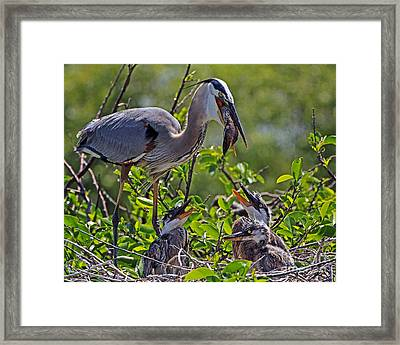 Great Blue Heron Lunch Alfresco Framed Print