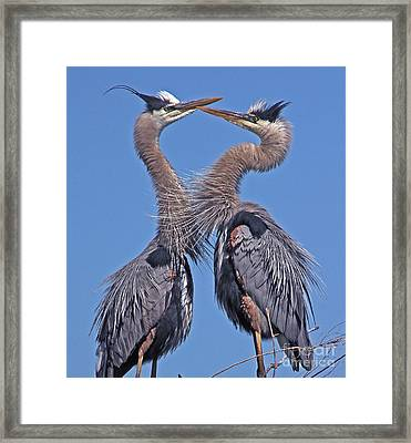 Great Blue Heron The Face Off Framed Print