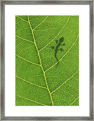 Gecko Framed Print by Aged Pixel