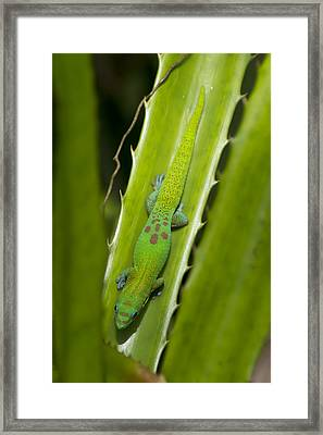 Gecko Framed Print by Mike Herdering