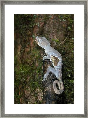 Gecko Shedding Skin Framed Print by Scubazoo