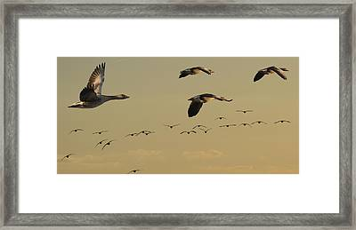 Geese Charter Framed Print
