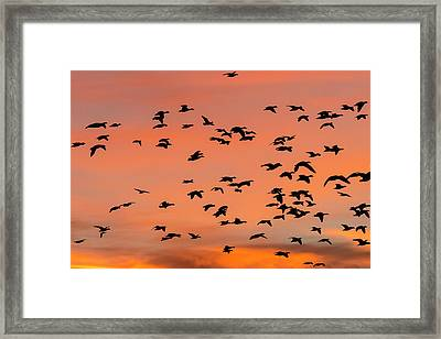 Geese Flying Before Dawn Framed Print by Maresa Pryor