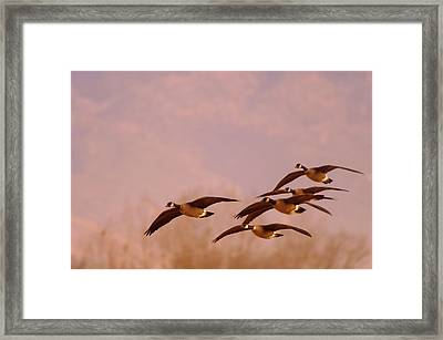 Geese Flying Over Framed Print by Jeff Swan