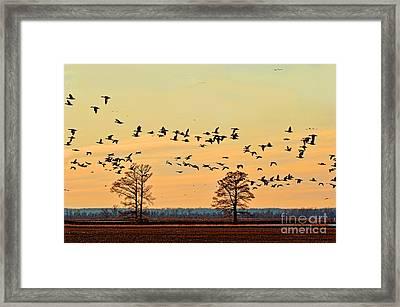 Geese In Flight I Framed Print by Debbie Portwood