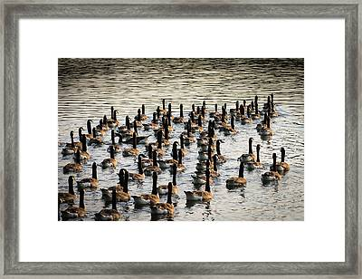 Geese In Sunset Light Framed Print by Menachem Ganon