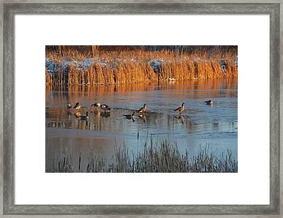 Geese In Wetlands Framed Print