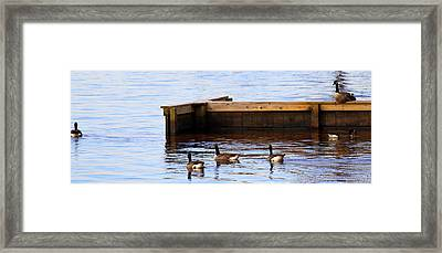 Geese Swimming Framed Print by Carolyn Ricks