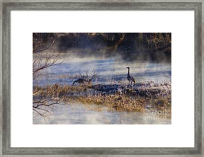 Geese Taking A Break Framed Print