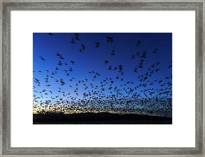 Geese Taking Off After Sunset, Bosque Framed Print by Maresa Pryor