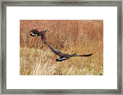 Geese - Taking Off In Flight Framed Print by Janice Adomeit