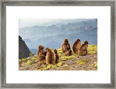 Gelada Baboon Family On A Cliff Edge Framed Print