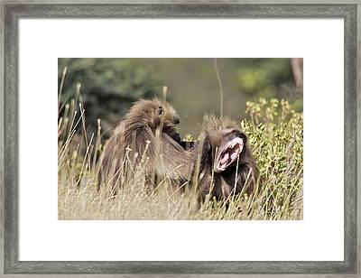 Gelada Baboons Grooming Framed Print by M. Watson