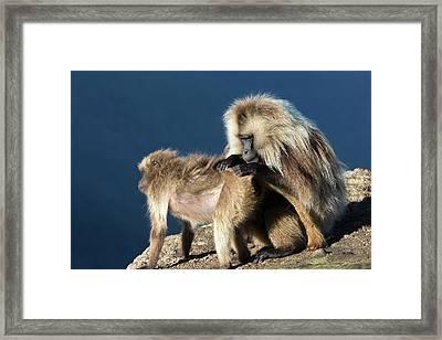 Gelada Baboons Grooming Framed Print