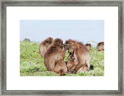 Gelada, Gelada Baboon (theropithecus Framed Print