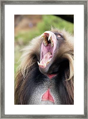 Gelada Male Yawning Framed Print by Peter J. Raymond
