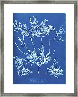 Gelidium Rostratum Framed Print by Natural History Museum, London