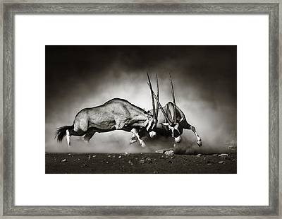 Gemsbok Fight Framed Print by Johan Swanepoel