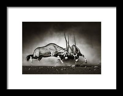 Fight Framed Prints