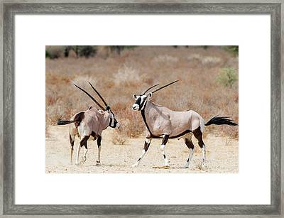Gemsbok Male And Female Framed Print by Peter Chadwick