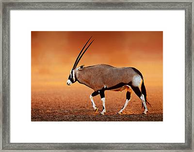 Gemsbok On Desert Plains At Sunset Framed Print by Johan Swanepoel