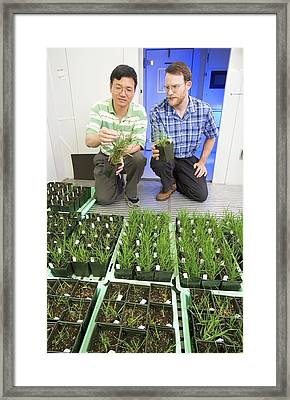 Genetically Modified Grass Research Framed Print by Peggy Greb/us Department Of Agriculture