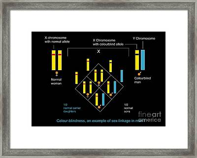 Genetics Of Color Blindness, Diagram Framed Print