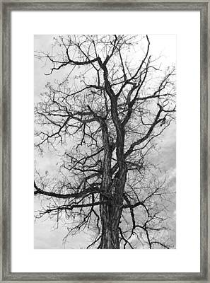 Genoa Tree Framed Print