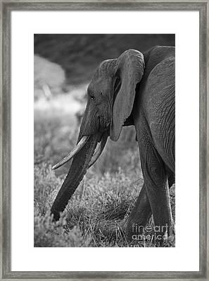 Gentle Giant... Framed Print by Nina Stavlund