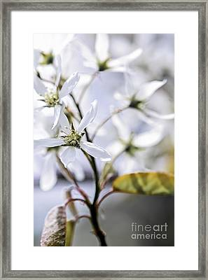 Gentle White Spring Flowers Framed Print by Elena Elisseeva