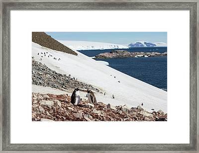 Gentoo Penguin Framed Print by Ashley Cooper