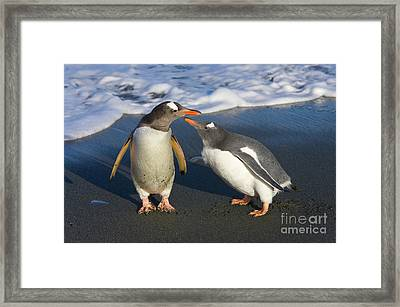 Gentoo Penguin Chick Begging For Food Framed Print by Yva Momatiuk and John Eastcott