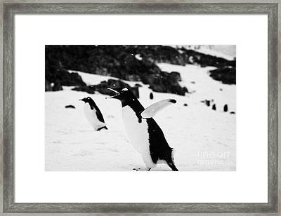 Gentoo Penguin Cooling Down With Wings Outstretched Calling In Colony On Cuverville Island Antarctic Framed Print by Joe Fox