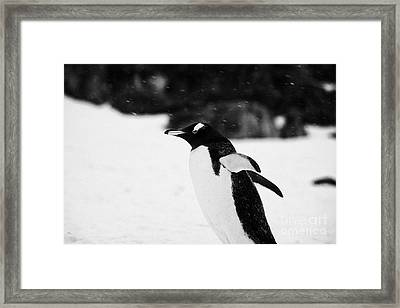 Gentoo Penguin Cooling Down With Wings Outstretched In Snowstorm On Cuverville Island Antarctica Framed Print by Joe Fox
