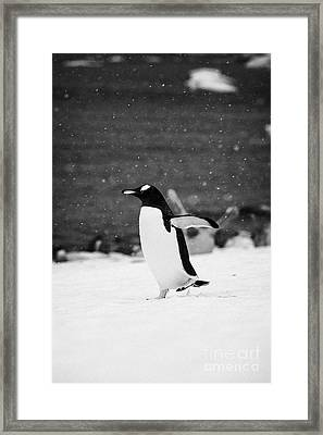 Gentoo Penguin Cooling Down With Wings Outstretched Walking On Cuverville Island Antarctica Framed Print by Joe Fox