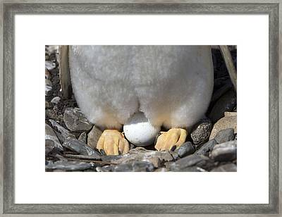 Gentoo Penguin Egg Framed Print