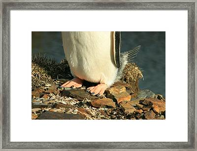 Gentoo Penguin Feet Framed Print