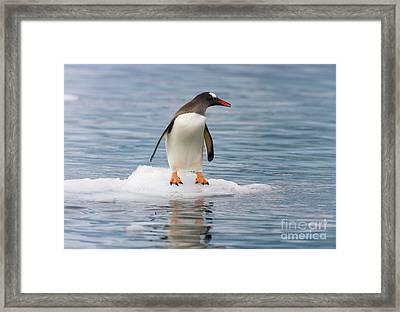 Gentoo Penguin On Ice Floe Antarctica Framed Print by Yva Momatiuk John Eastcott